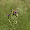 081620.  Goldfinch getting its own thistle seed.