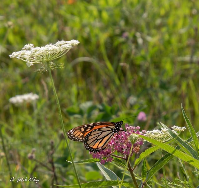 081620.  Monarch on Swamp Milkweed.