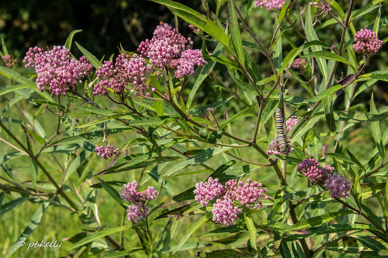 Swamp Milkweed with Monarch Caterpillar.  072819