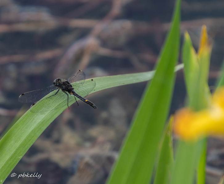 052820.  Male Dot-tailed Whiteface