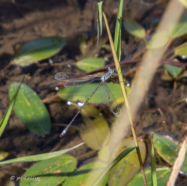 Swamp Spreadwing, Lestes vigilax,  There are many species of Spreadwing in Lorain County, but they proved uncooperative this year!  Royal Oaks, 090519
