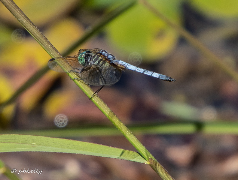 Another view of a Blue Dasher, Pachydiplax longipennis.  090519