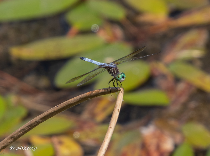 Blue Dasher male, Pachydiplax longipennis  072819