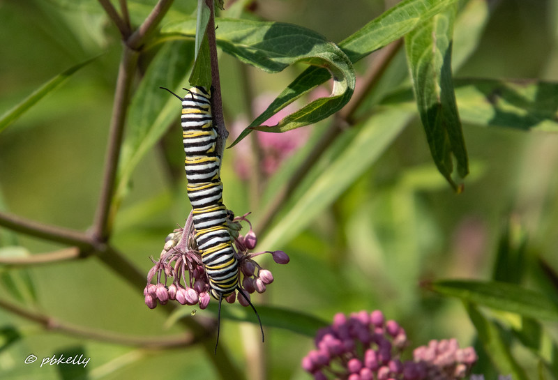 Close-up of the Monarch Caterpillar 072819