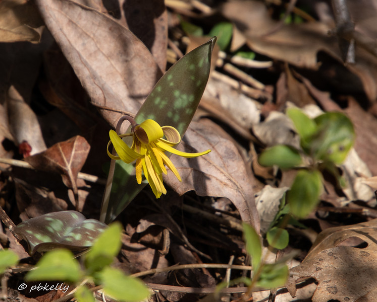 Not the place to go for ephemeral wildflowers, but I did find this Trout Lily.  040620