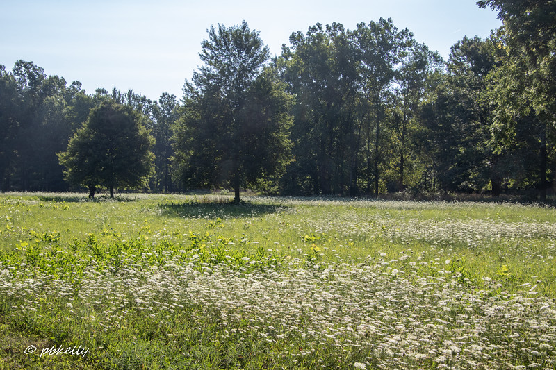 081620.  A meadow full of Queen Anne's Lace.  As a golf course, all this would have been carefully mowed down.