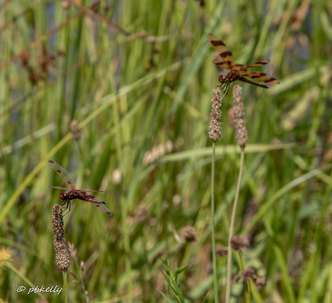 This was a two-fer.  Calico Pennant lower left and Halloween Pennant upper right.  Royal Oaks, 071319.