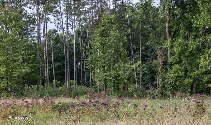 081620.  Tall Ironweed spreading in the meadow.