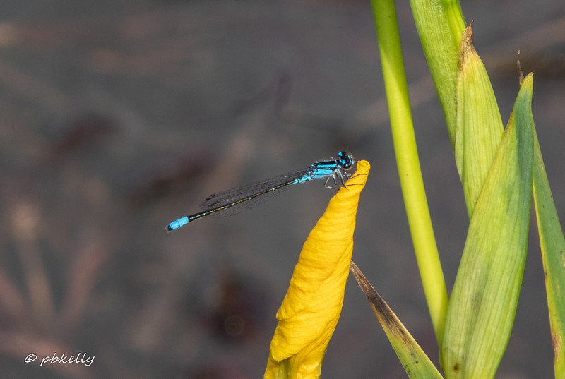 052820.  Skimming Bluet male