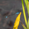052820.  Skimming Bluet male