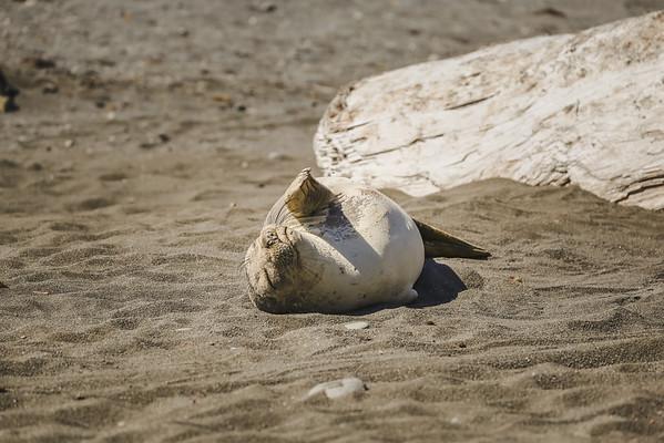 Lion Seal Sunbathing