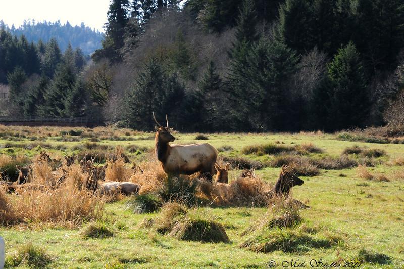 Roosevelt elk in Redwood National Park.