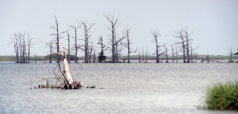 Denuded stand of trees in open water