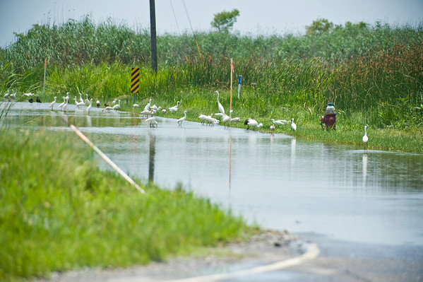 Shore birds on flooded Rt. 23, Venice LA.