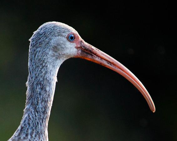 juvenile ibis.jpg