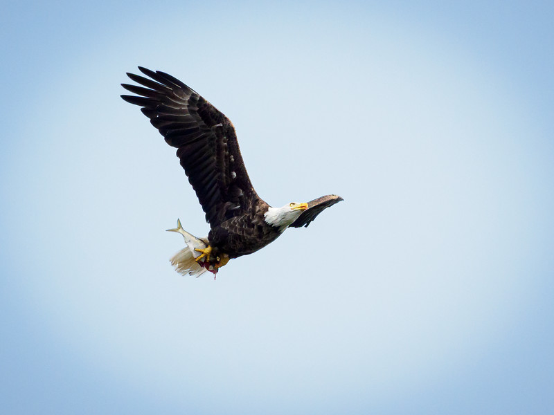 Bald Eagle and catch of the day, Seal Cove