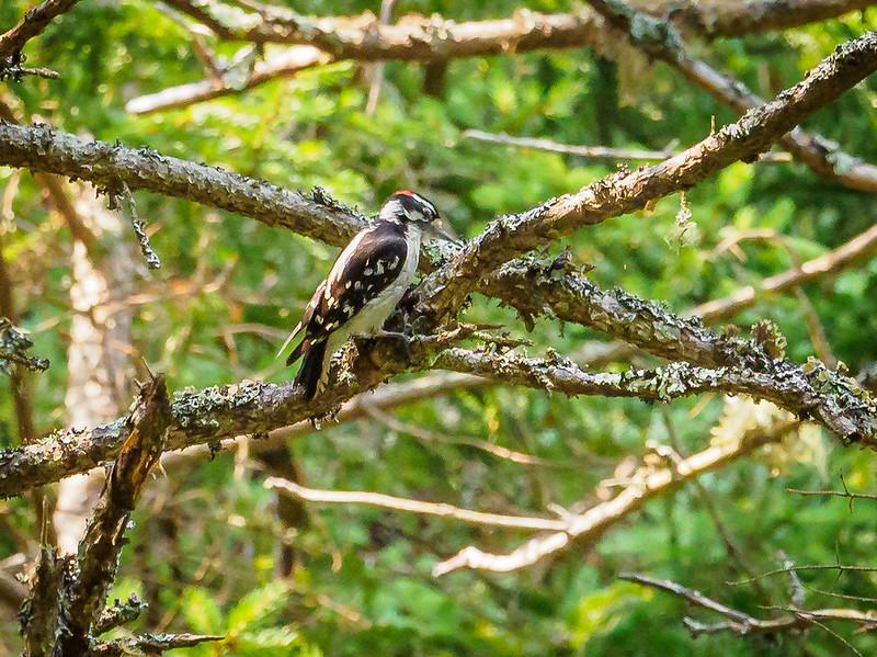 Woodpecker on a birding morning