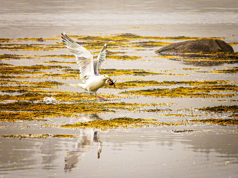 Sea gull with crab dinner