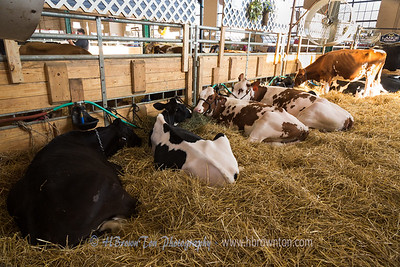 Cows in the Big Barn