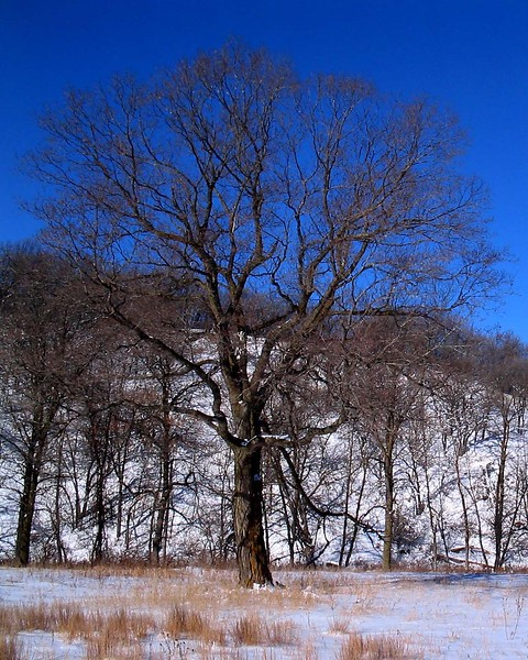 My Maple winter