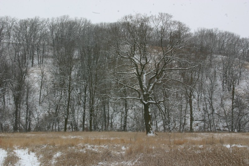Maple winter