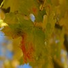 Maple Close-Up