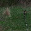 Bluebird Perch