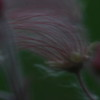 Prairie Smoke Close-up