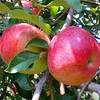 Camen Apples
