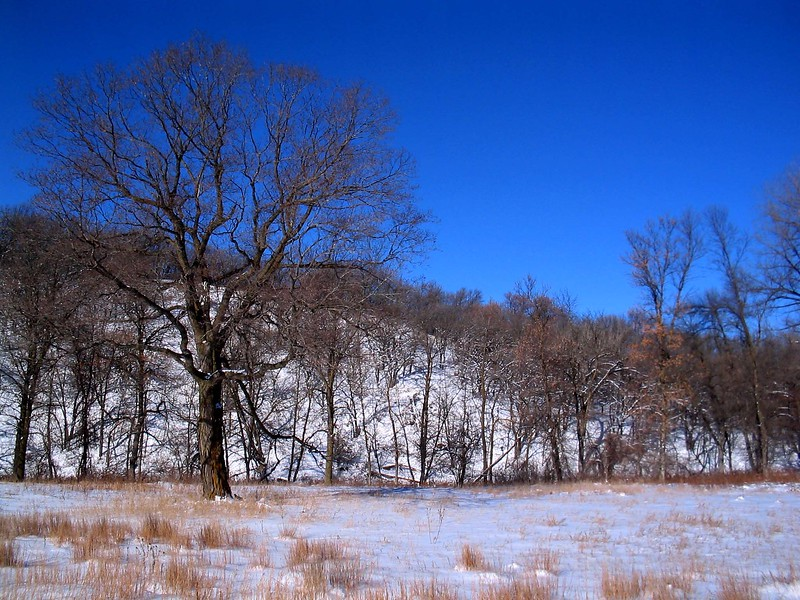 Winter Maple Scene