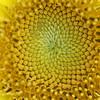Sunflower innards