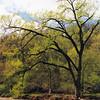 camden spring tree