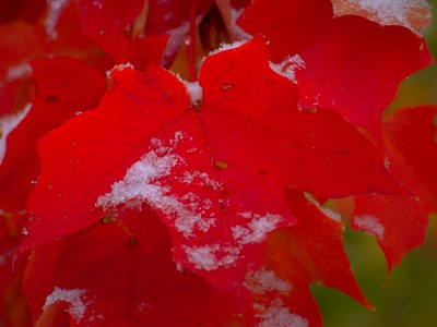 Red Maples and Snow