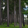 Itasca Pines
