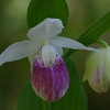 Pink and White Showy Lady Slipper