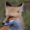 G.P. Fox