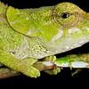 Elephant ear chameleon (Calumma brevicorne)