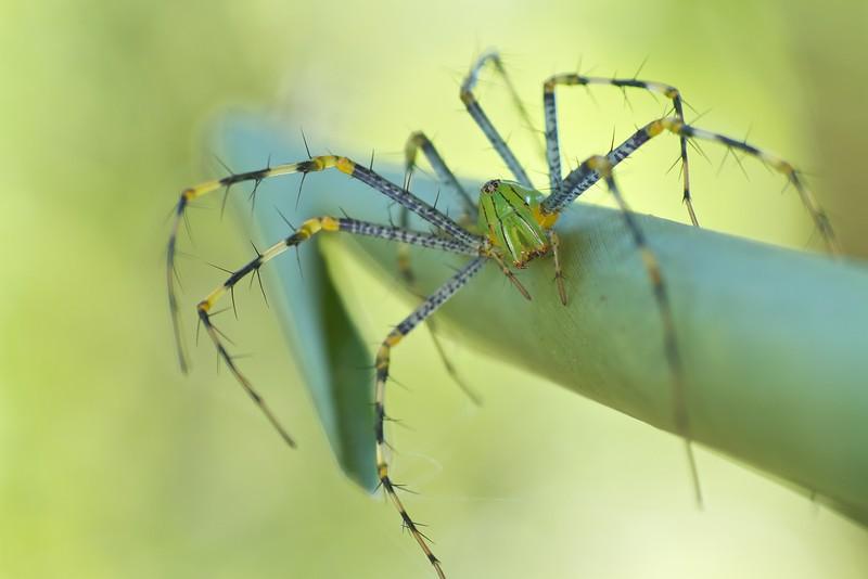 Madagascar lynx spider (Peucetia madagascariensis)