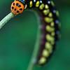 Ladybird-mimicking caterpillar