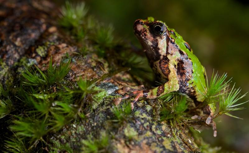 Green burrowing frog (Scaphiophryne marmorata)