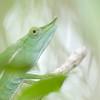 Fork-nosed chameleon (Calumma furcifer)