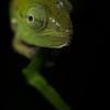 Juvenile green chameleon (Calumma gastrotaenia)