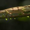 Boettger's chameleon (Calumma boettgeri)