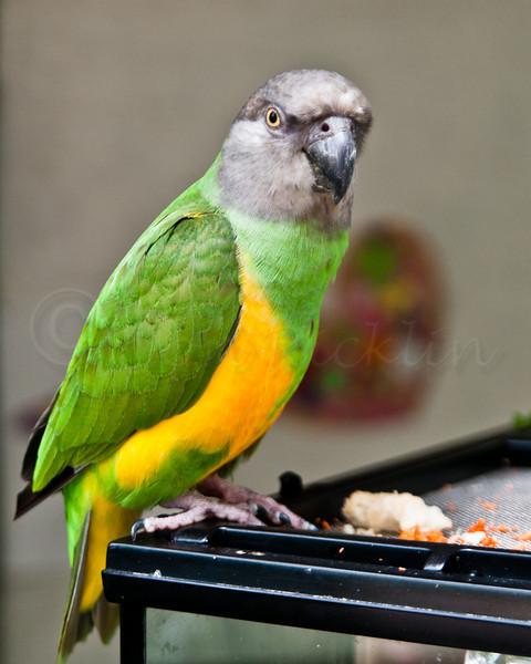 Akbar the Senegal Parrot
