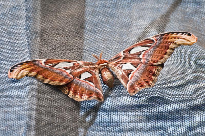 Large Atlas Moth