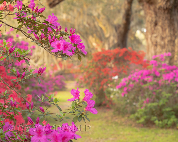 Azalea Power .... Magnolia Gardens March 24, 2019