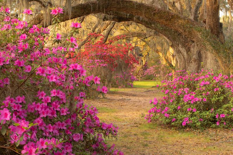 Magnolia Gardens - Golden light