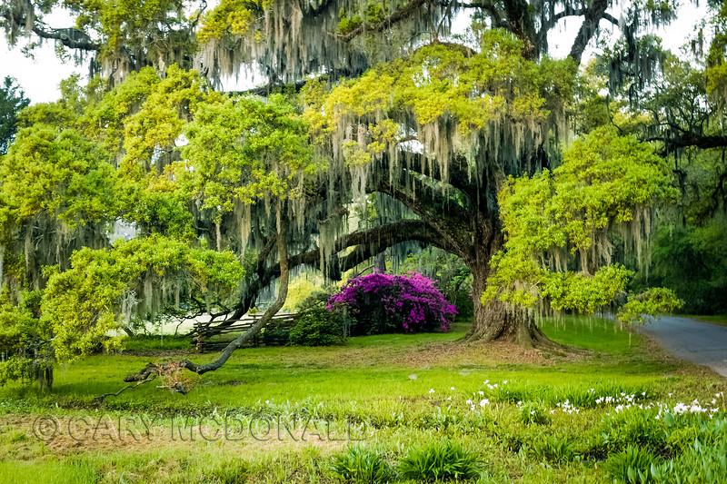 Oaks and azaleas at Magnolia Plantation and Gardens
