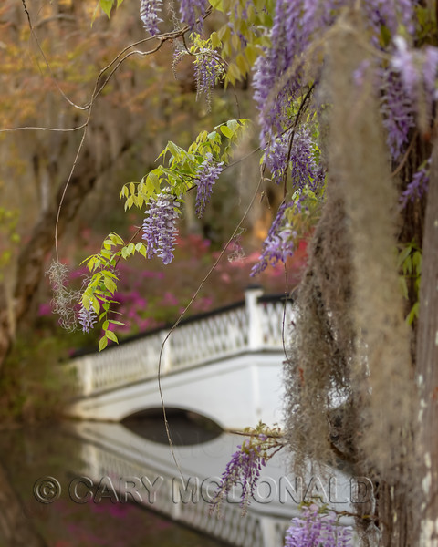 Wisteria  Magnolia Gardens March 24, 2019