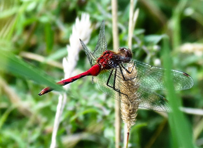 White-faced Meadowhawk Dragonfly, Upstate NY
